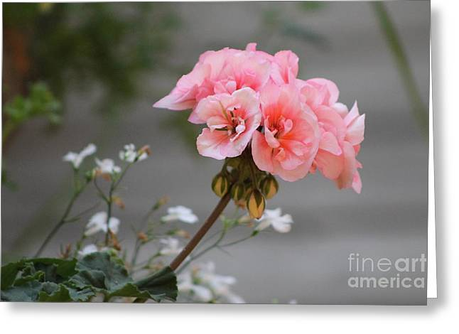 Pink Geranium Greeting Card by Leone Lund