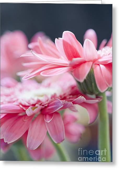 Pink Gerber Daisy - Awakening Greeting Card by Ivy Ho