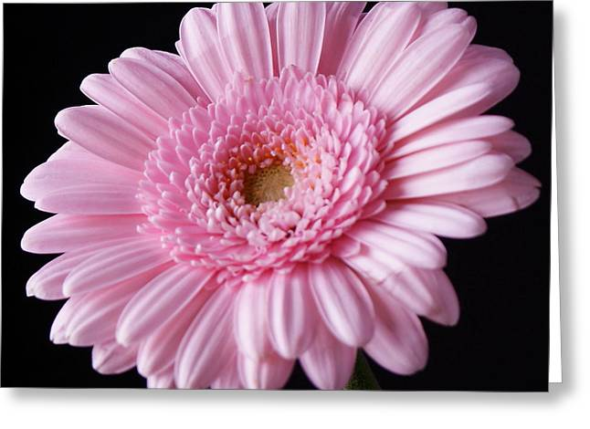 Pink Gerbera Daisy Flower On Black Greeting Card by Lynne Dymond