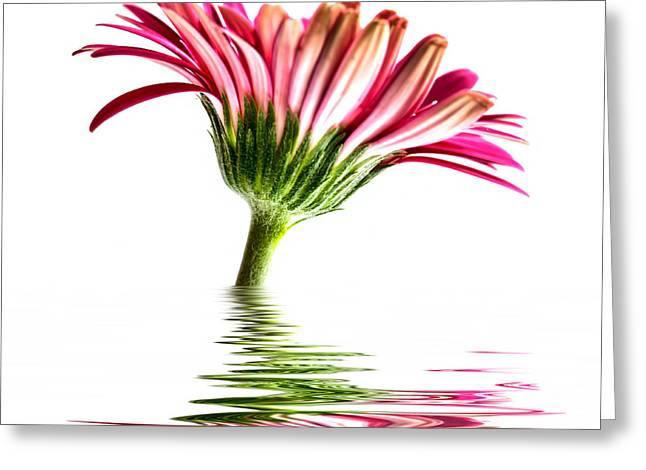 Pink Gerbera Flood 2 Greeting Card by Steve Purnell