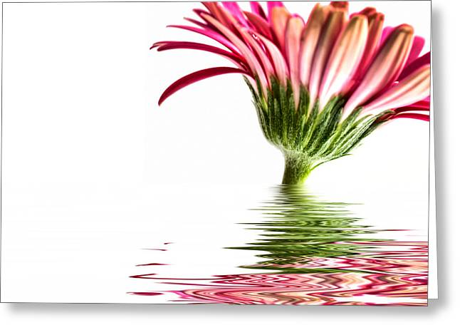 Pink Gerbera Flood 3 Greeting Card by Steve Purnell