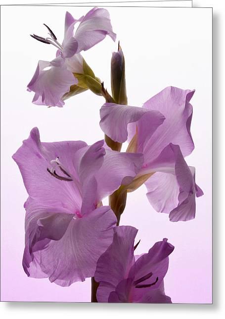 Pink Gladiolus. Greeting Card
