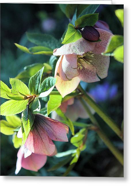 Pink Hellebore Greeting Card