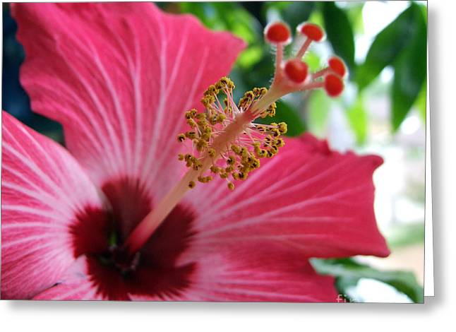 Pink Hibiscus Greeting Card by Antony McAulay