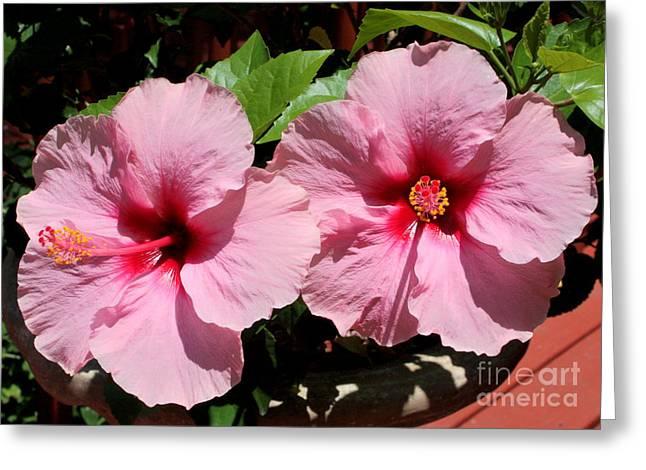 Pink Hibiscus Blooms Greeting Card by Carol Groenen