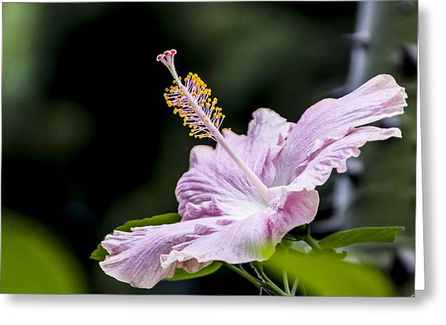 Pink Hibiscus Flower Greeting Card by Photographic Art by Russel Ray Photos