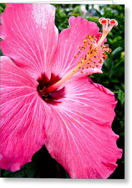 Pink Hibiscus Greeting Card by Pete Trenholm