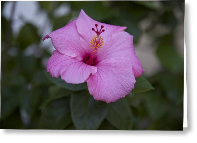 Pink Hibiscus Greeting Card by Terry Horstman