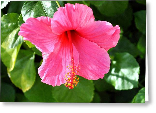 Pink Hibiscus With Large Stamen Greeting Card by Jay Milo