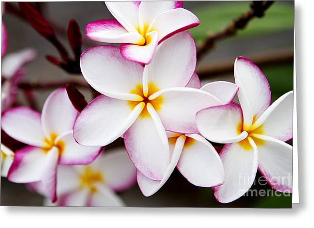Pink Highlighted Plumeria Greeting Card by Thanh Tran