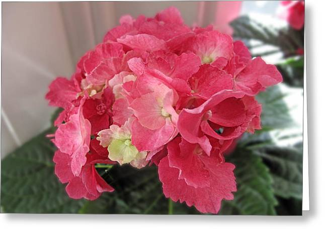 Pink Hydrangea Greeting Card by Barbara McDevitt