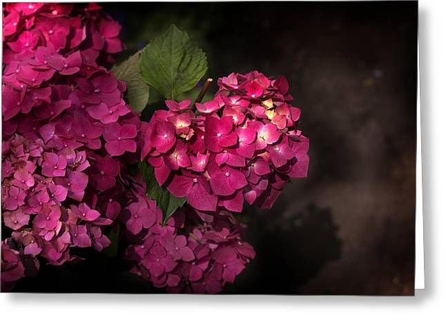 Pink Hydrangea Flowers In A Garden Greeting Card