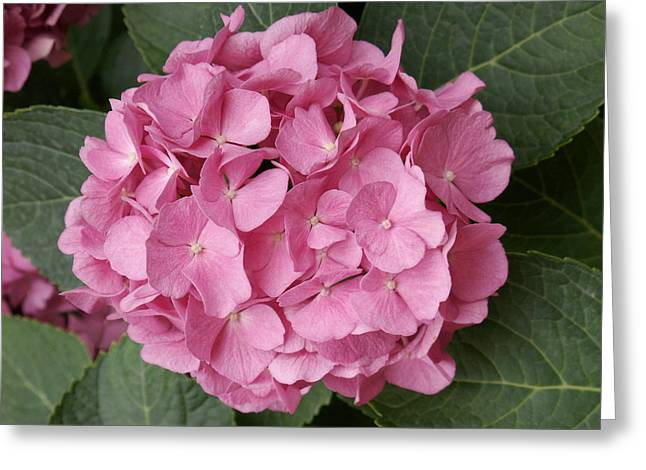 Pink Hydrangea Greeting Card by Sandy Molinaro