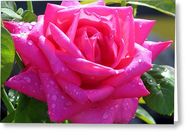 Pink In Drops Greeting Card by Zina Stromberg