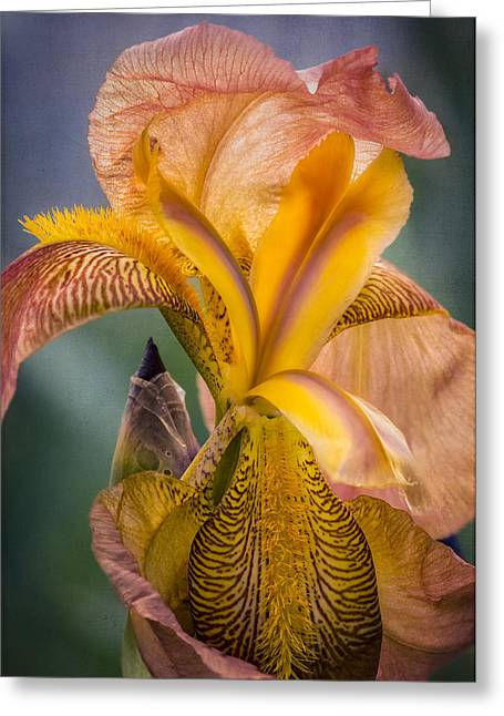 Pink Iris Greeting Card by Eduard Moldoveanu