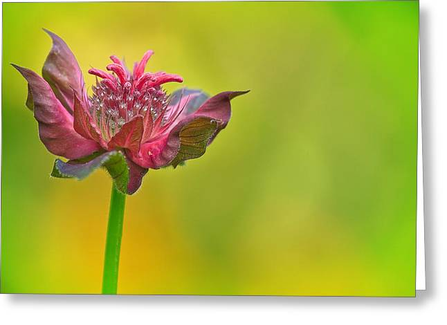 Pink Jester In Greene Greeting Card by Sylvia J Zarco