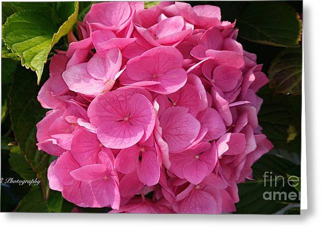 Greeting Card featuring the photograph Blushing Rose by Jeannie Rhode