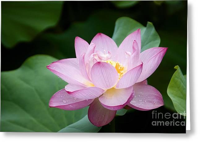 Pink Lotus Flower Greeting Card by Oscar Gutierrez
