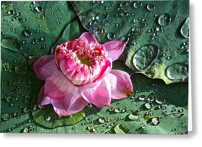 Pink Lotus Flower Greeting Card by Venetia Featherstone-Witty