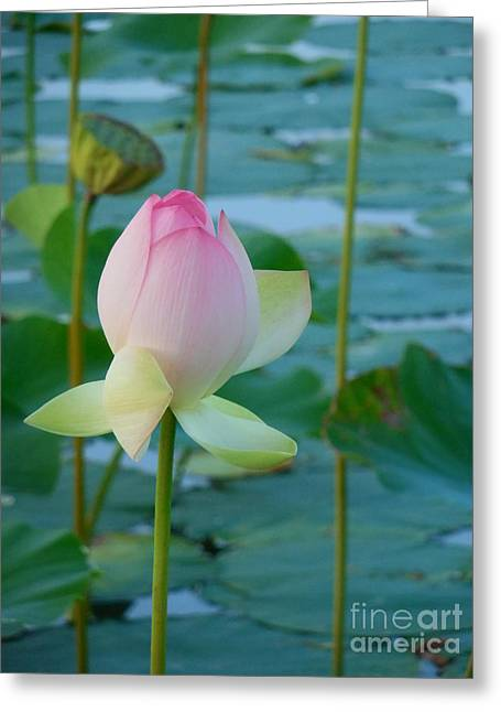 pink lotus flower vertical photograph by rowena throckmorton