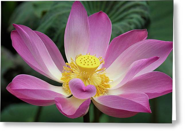 Pink Lotus Flower, Water Lily, Nymphaea Greeting Card by Emily Wilson