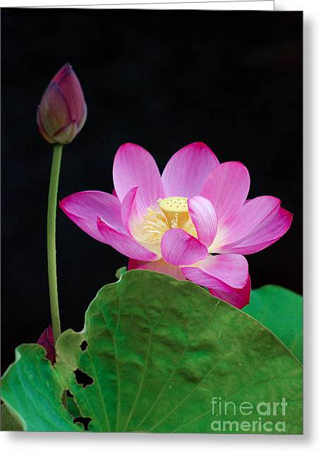 Pink Lotus Flowers Greeting Card