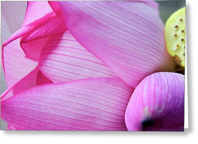 Pink Lotus Petal Bud Close-up Macro Greeting Card