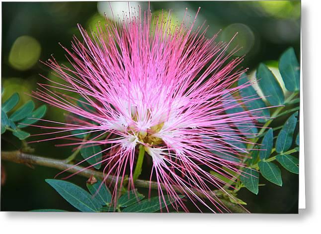 Pink Mimosa Flower Greeting Card by Eti Reid