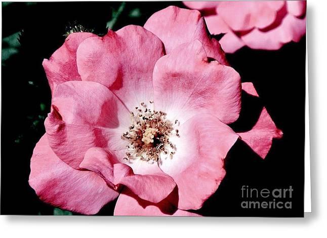 Pink Moonlit Rose Greeting Card by Marsha Heiken