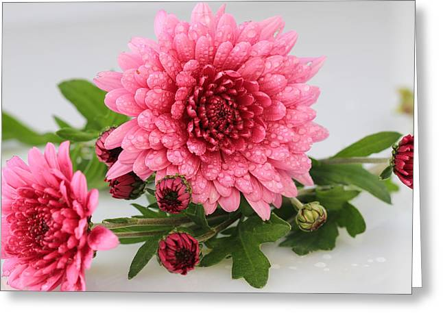Pink Mums Greeting Card