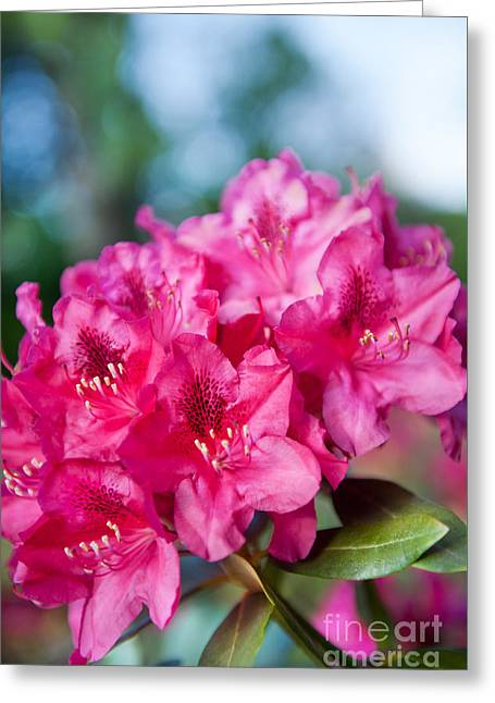 Rhododendron Or Azalea Plant Bright Pink Flowers  Greeting Card