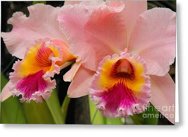 Pink Orchids 2 Greeting Card by Chris Scroggins