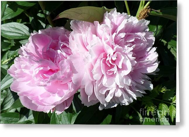 Pink Peonies 3 Greeting Card
