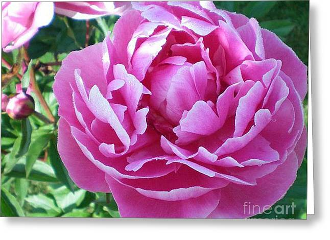 Pink Peony Greeting Card by Barbara Griffin