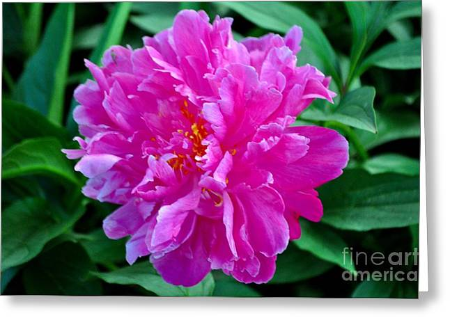 Pink Peony Greeting Card by Mandy Judson