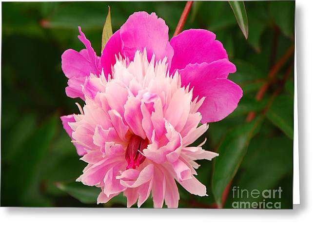 Greeting Card featuring the photograph Pink Peony by Mary Carol Story