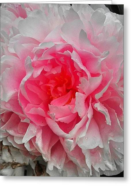 Pink Peony Rose Greeting Card by Beril Sirmacek