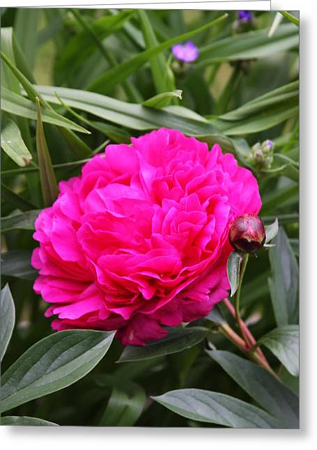 Greeting Card featuring the photograph Pink Peony by Vadim Levin