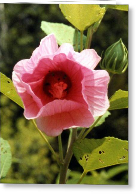 Hibiscus Pink Perfection Greeting Card