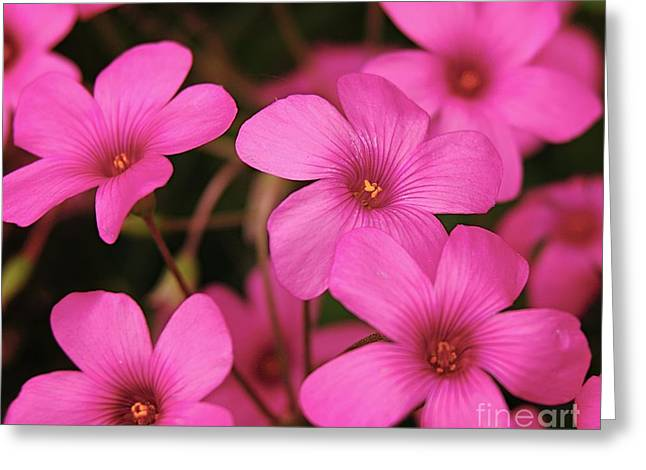 Pretty Pink Phlox Greeting Card