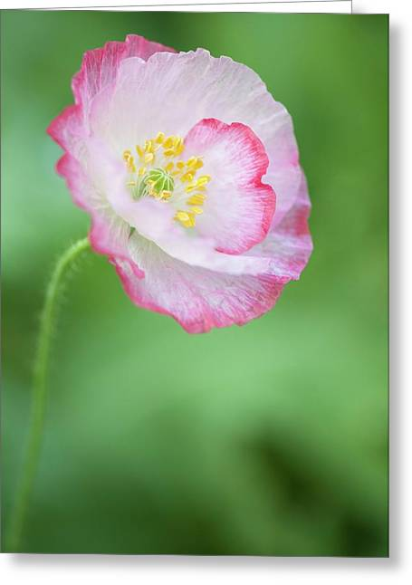 Pink Picotee Shirley Poppy Greeting Card by Maria Mosolova