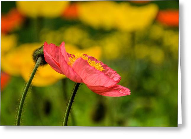 Pink Poppy  Greeting Card by Jeanne May