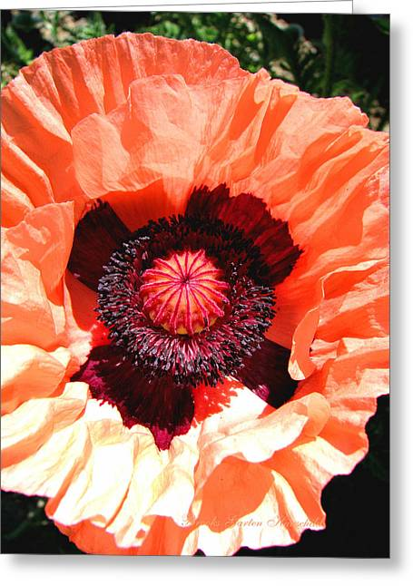 Greeting Card featuring the photograph Peach Poppy Perfection by Brooks Garten Hauschild