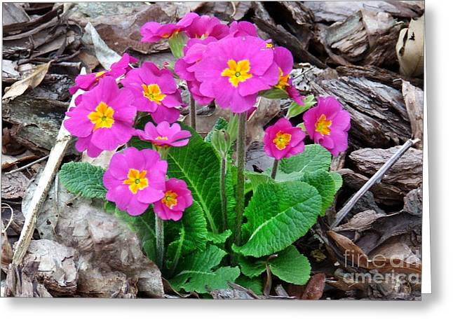 Pink Primrose Greeting Card by Stuart Mcdaniel