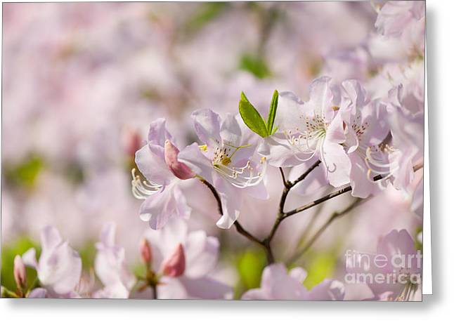 Stem Of Pink Rhododendron Called Azalea Flowers  Greeting Card