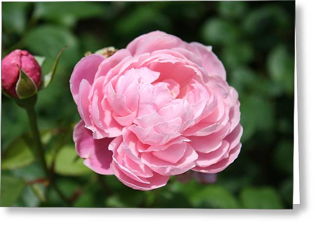 Greeting Card featuring the photograph Pink Rose 2 by Ellen Tully