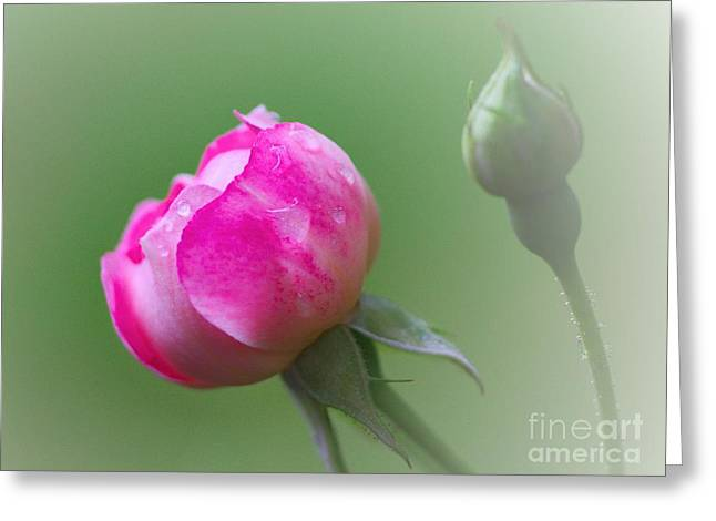 Pink Rose And Raindrops Greeting Card