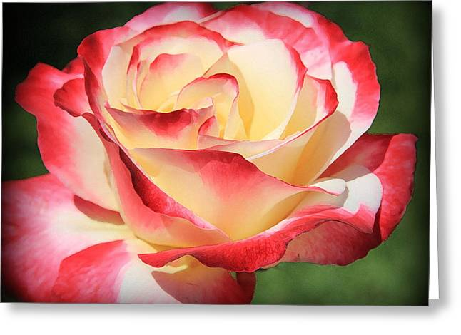 Greeting Card featuring the photograph Pink Rose by Athala Carole Bruckner