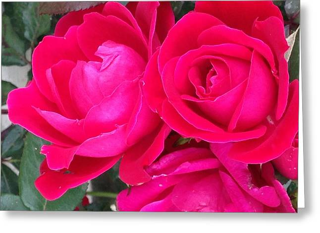 Pink Rose Blossoms Greeting Card