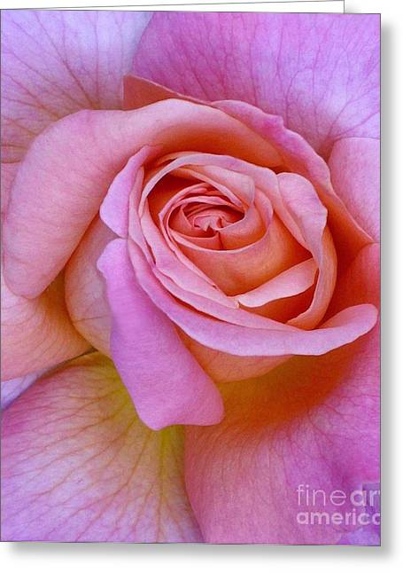 Pink Rose Close-up Greeting Card by Paul Clinkunbroomer
